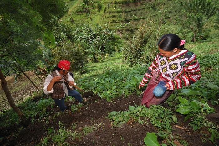 Inidigenas Cultivos (Suministrada)