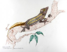 Culebra Island Giant Anole Anolis roosevelti color drawing by Genevieve Wilson from museum specimen photo COLOR 8-12-11 edited 2-21-15
