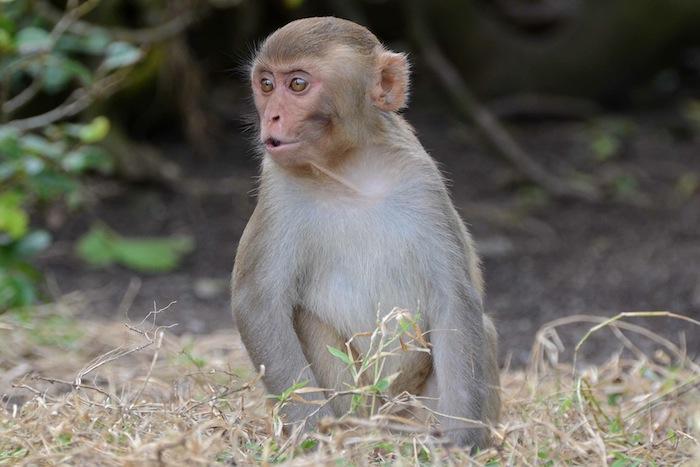 Monos rhesus (Suministrada)