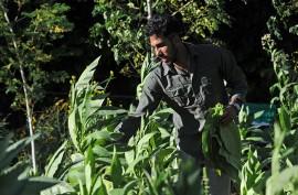 Samuel Morales recoge las hojas de tabaco en su finca. (Ricardo Alcaraz / Diálogo)