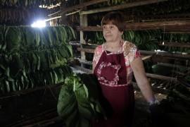 Berta Borrego, entre los palos con hojas verdes que ha ensartado para su secado. Ella se dedica desde hace más de 30 años esa tarea y la de seleccionar las hojas ya secas para el procesamiento de los habanos, en la finca de Rosario, en el municipio cubano de Juan y Martínez.  (Jorge Luis Baños/IPS)