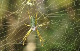 Araña tejedora dorada
