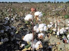 El Banco Mundial aumentó el apoyo financiero al sector algodonero de Uzbekistán, aunque hay pruebas de que se basa en un sistema de trabajo forzoso. Crédito: David Stanley / CC-BY-2.0