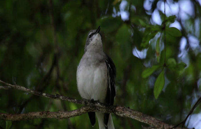 Su objetivo es la publicación de un libro completamente bilingüe de 350 páginas y cientos de fotografías a todo color documentando 70 especies de aves avistadas por su autor en el Viejo San Juan. (Suministrada)