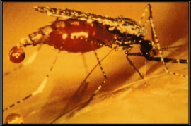 La malaria es transmitida por el mosquito anófeles, común en las zonas tropicales y subtropicales del mundo. (Suministrada)