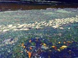 Mortandad de peces en Fajardo. (Suministrada)
