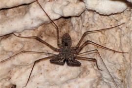 El guabá es un organismo nocturno, familia de las arañas y los escorpiones. (Suministrada)