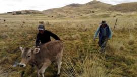 Dos campesinos y uno de sus terneros en la comunidad de Alto Huancané, en las zonas altas de la provincia de Espinar, en el suroriental departamento de Cusco, en los Andes peruanos. Los pequeños agricultores familiares como ellos proveen la alimentación de alrededor de 80 por ciento de los habitantes de América Latina y el Caribe. Crédito: Milagros Salazar/IPS