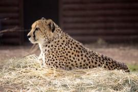 Guepardo del Zoológico de Denver. (Suministrada)