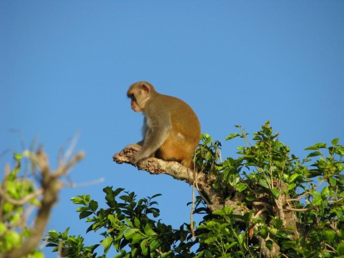 Macacos rhesus en Isla Cayo Santiago (suministrada, Flickr por BDNf cynocephale)