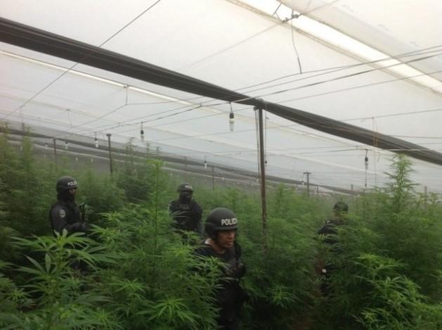 Efectivos policiales durante la incautación de un invernadero con cultivos de marihuana y amapola en La Cumbre, en el municipio hondureño de La Iguala.