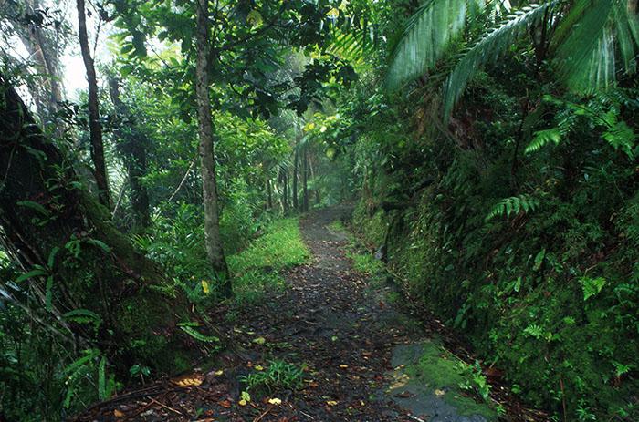 Ecosistemas húmedos como El Yunque son parte esencial en el ciclo global de carbono, ya que procesan una tercera parte de las emisiones del gas. (Ricardo Alcaraz/Diálogo)