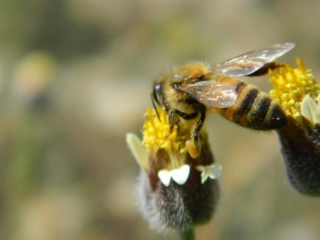 Insecticidas sintéticos suelen considerarse perjudiciales para las abejas. Crédito: Zadie Neufville/IPS.