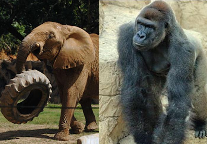 Mundi y Harambe. Zoológicos.