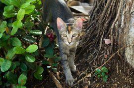 Los felinos han sido domesticados por milenios antes de Cristo. (Facebook)