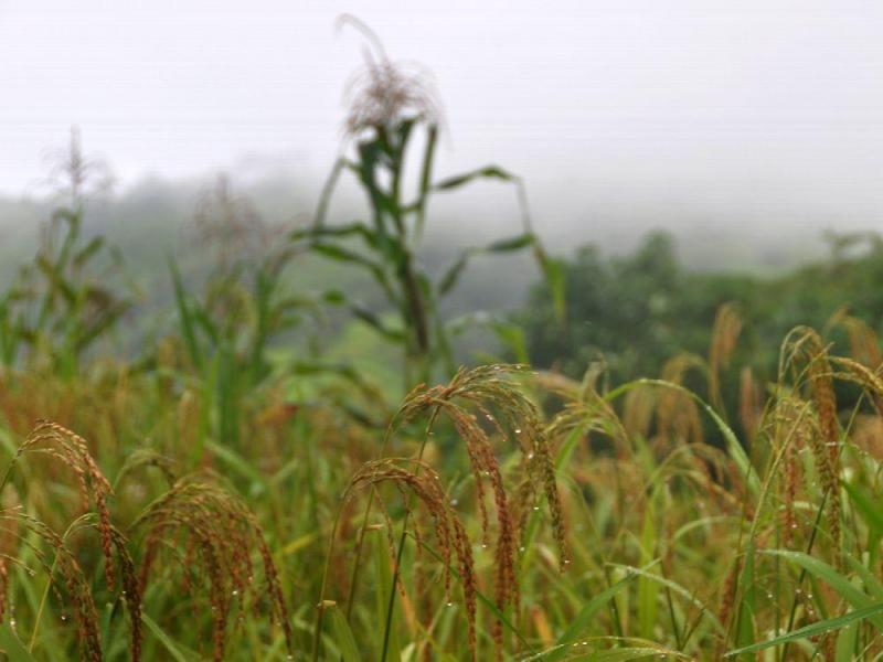Cambio-climatico-afecta-ya-a-cultivos-de-maiz-frijol-y-arroz-en-Centroamerica