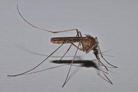 Mosquito Comun (SilvaKumar V K)
