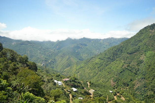 Las fincas de la montañosa zona de Llano Bonito de León Cortés usan plantas de plátano (banano) como sombra para el café, dentro de su adaptación al cambio climático, mientras que los expertos urgen a diversificar más las especies del grano en Costa Rica. Crédito: Diego Arguedas Ortiz/IPS