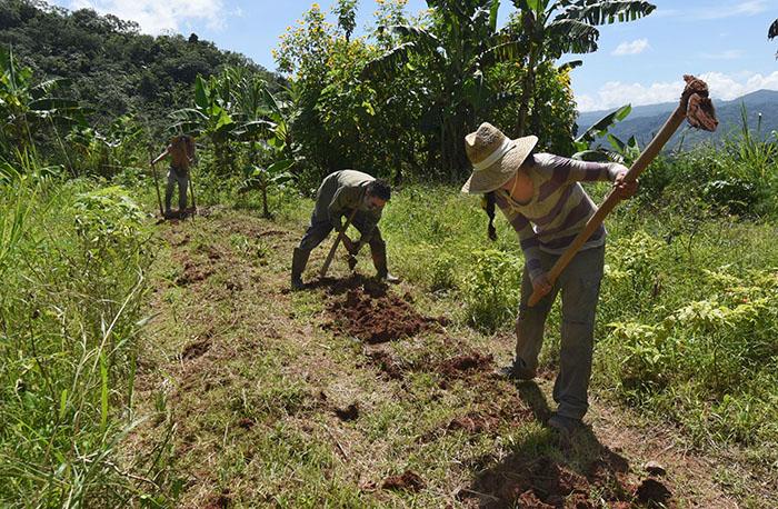 en-la-finca-del-proyecto-guayabacherry
