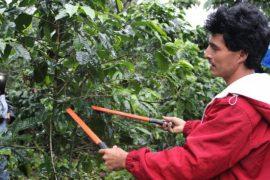 La práctica de manejo y podas crece entre los caficultores guatemaltecos, como parte de las medidas para mejorar la calidad del grano del país. Crédito: FAO Guatemala