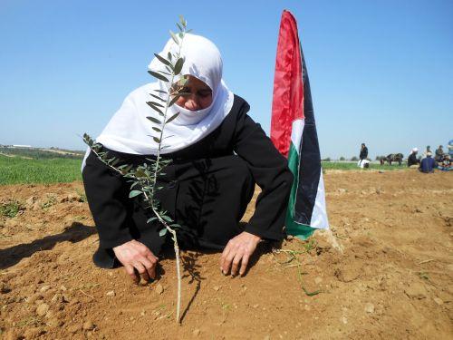 Um Abed planta un olivo en símbolo de apoyo a los agricultores palestinos. Crédito: Eva Bartlett/IPS.