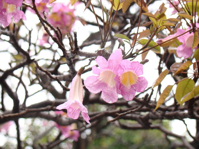 flores-de-roble
