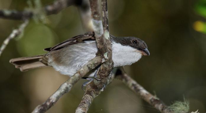 A estos pájaros también se les llaman plañideras porque emiten un sonido que algunas personas describen como un gemido o como el llanto de un niño. (Suministrada / Gloria Archilla)