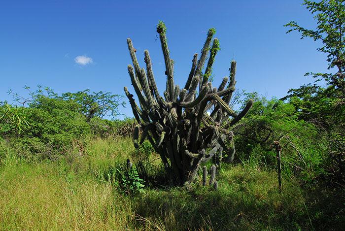 Bosque Seco de Guánica. (Ricardo Alcaraz / Diálogo)