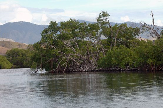 Parte del manglar rojo en la Reserva Nacional de Investigación Estuarina Bahía de Jobos, en Salinas. (Ricardo Alcaraz / Diálogo)