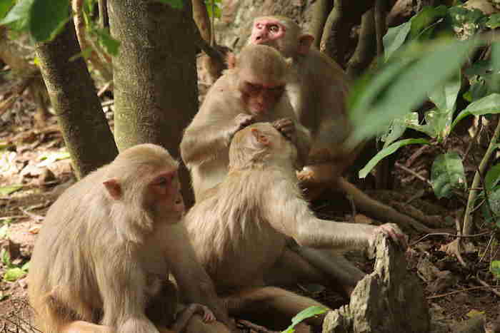A family of macaques. The females in front and back are sisters and their daughters, who are cousins, are the animals grooming in the center. Credit Lauren Brent