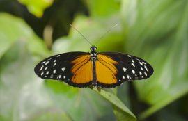 Mariposa Heliconius