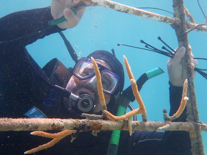 El Dr. Edwin Hernández-Delgado trabajando en el mantenimiento y repoblación de una de las unidades de cultivo de corales en la Isla de Culebra.