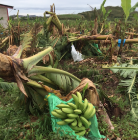 Bananera fabres Sabana Grande