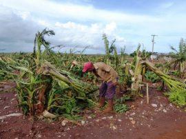 Plantación de plátano destruida por un huracán en Cuba. Crédito: FAO / Granma