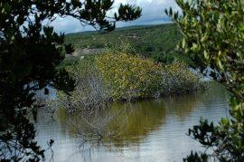 Mangle en la Laguna Las Salinas, en Ponce, cerca del Tuque/noviembre 2007