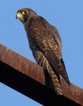 Falco_peregrinus_good_-_Christopher_Watson