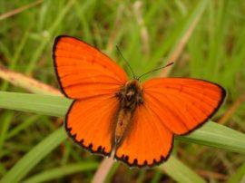 mariposa coreana wikipedia
