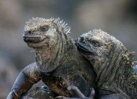 Galapagos_marine_iguana wikipedia