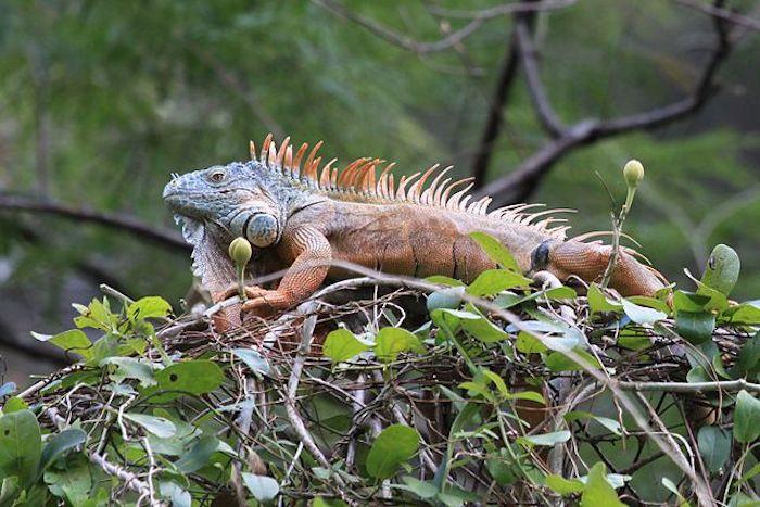Iguana de palo Ereenegee wikimedia