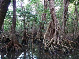 Pterocarpus_officinalis- Wikimedia Commons
